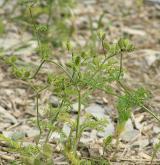 dejvorec velkoplodý  <i>(Caucalis platycarpos)</i> / Habitus