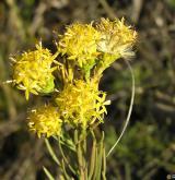 hvězdnice zlatovlásek <i>(Aster linosyris)</i> / Květ/Květenství