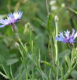 chrpa modrá  <i>(Centaurea cyanus)</i> / Ostatní