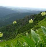 česnek hadí <i>(Allium victorialis)</i> / Habitus