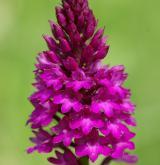 rudohlávek jehlancovitý <i>(Anacamptis pyramidalis)</i> / Květ/Květenství