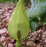 árón plamatý <i>(Arum maculatum)</i> / Květ/Květenství
