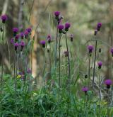 pcháč různolistý  <i>(Cirsium heterophyllum)</i> / Habitus