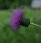 pcháč panonský <i>(Cirsium pannonicum)</i> / Květ/Květenství