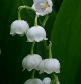 konvalinka vonná <i>(Convallaria majalis)</i> / Květ/Květenství