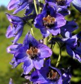 stračka vyvýšená <i>(Delphinium elatum)</i> / Květ/Květenství