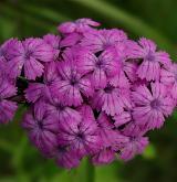 hvozdík vousatý <i>(Dianthus barbatus)</i> / Květ/Květenství