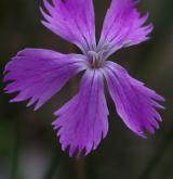 hvozdík moravský <i>(Dianthus moravicus)</i> / Květ/Květenství
