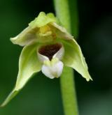 kruštík uherský <i>(Epipactis tallosii)</i> / Květ/Květenství