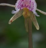 sklenobýl bezlistý <i>(Epipogium aphyllum)</i> / Květ/Květenství
