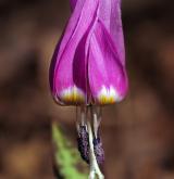 kandík psí zub <i>(Erythronium dens-canis)</i> / Květ/Květenství