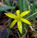 křivatec luční <i>(Gagea pratensis)</i> / Květ/Květenství