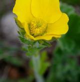 kuklík horský <i>(Geum montanum)</i> / Květ/Květenství