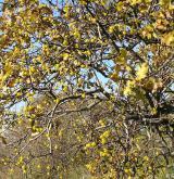 ochmet evropský <i>(Loranthus europaeus)</i> / Porost