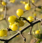 ochmet evropský <i>(Loranthus europaeus)</i> / Plod