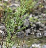 židoviník německý <i>(Myricaria germanica)</i> / Ostatní