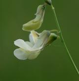 hrachor panonský <i>(Lathyrus pannonicus)</i> / Květ/Květenství