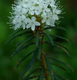 rojovník bahenní <i>(Rhododendron tomentosum)</i> / Květ/Květenství