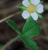 mochna jahodovitá <i>(Potentilla sterilis)</i> / Květ/Květenství