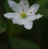sedmikvítek evropský <i>(Trientalis europaea)</i> / Květ/Květenství