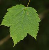 javor klasnatý <i>(Acer spicatum)</i> / List