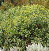 prorostlík vrbolistý <i>(Bupleurum salicifolium)</i> / Habitus