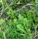 Teplomilná plevelová vegetace obilných polí na bazických půdách <i>(Caucalidion lappulae)</i> / Detail porostu