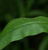 pomněnka bahenní <i>(Myosotis palustris)</i> / List