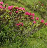 pěnišník rezavý <i>(Rhododendron ferrugineum)</i> / Habitus