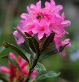 pěnišník rezavý <i>(Rhododendron ferrugineum)</i> / Květ/Květenství