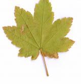 javor okrouhlolistý <i>(Acer circinatum)</i> / List
