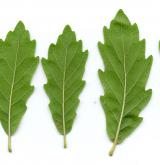 dub Turnerův <i>(Quercus ×turneri)</i> / List