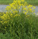 rukevník východní <i>(Bunias orientalis)</i> / Habitus