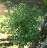 žluťucha smrdutá <i>(Thalictrum foetidum)</i> / Habitus