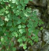 žluťucha smrdutá <i>(Thalictrum foetidum)</i> / List