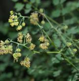 žluťucha smrdutá <i>(Thalictrum foetidum)</i> / Květ/Květenství