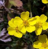 mochna písečná <i>(Potentilla arenaria)</i> / Květ/Květenství