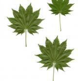 javor Širasawův <i>(Acer shirasawanum)</i> / List