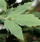 javor trojkvětý <i>(Acer triflorum)</i> / List