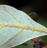 javor šedý <i>(Acer griseum)</i> / List