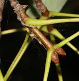 javor Heldreichův <i>(Acer heldreichii)</i> / Větve a pupeny