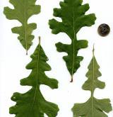 dub velkoplodý <i>(Quercus macrocarpa)</i> / List