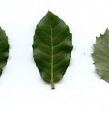 dub kermesový <i>(Quercus coccifera)</i> / List