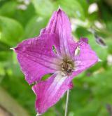 plamének vlašský  <i>(Clematis viticella)</i> / Květ/Květenství