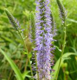 rozrazil vstavačovitý <i>(Pseudolysimachion orchideum)</i> / Květ/Květenství