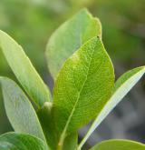vrba bledá <i>(Salix starkeana)</i> / List
