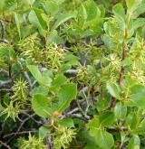 vrba bledá <i>(Salix starkeana)</i> / Habitus