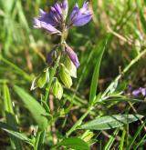 vítod obecný <i>(Polygala vulgaris)</i> / Habitus