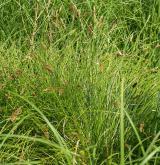 Vegetace vysokých ostřic v litorálu oligotrofních a mezotrofních vod <i>(Magno-Caricion elatae)</i> / Detail porostu