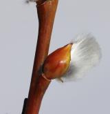 vrba lýkovcová <i>(Salix daphnoides)</i> / Větve a pupeny